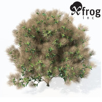 XfrogPlants European Smoketree