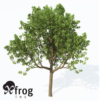 XfrogPlants Downy Oak