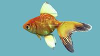 3d fish goldfish model