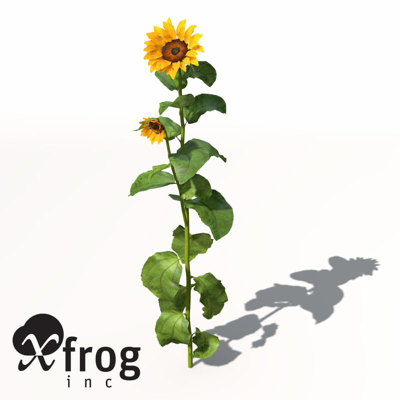 sunflower plant sun 3d model