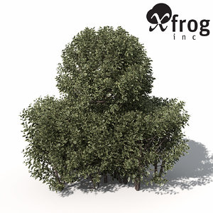 golden-leaved boxwood shrub golden 3d model
