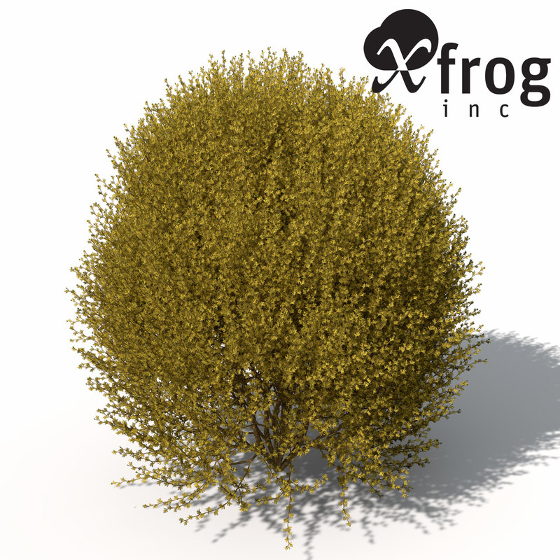 3d xfrogplants forsythia shrub