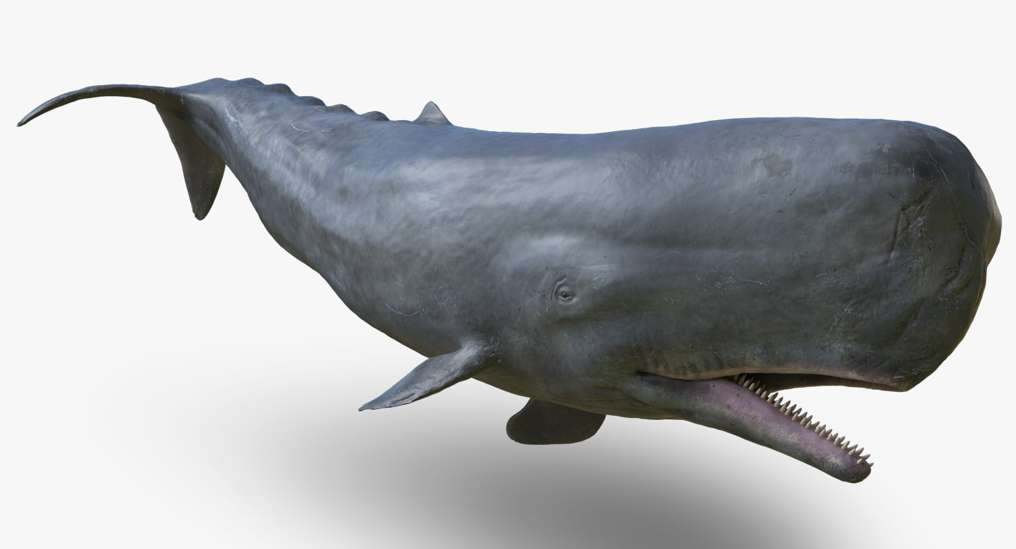 3d rigged male sperm whale