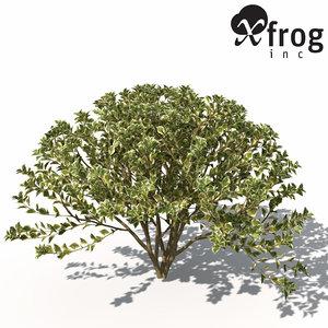 spindles sp shrub tree plants 3d model