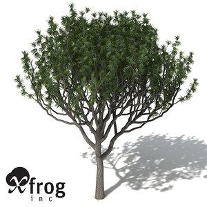 koa acacia tree 3d model