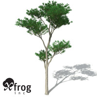 maya xfrogplants kanuka tree shrub