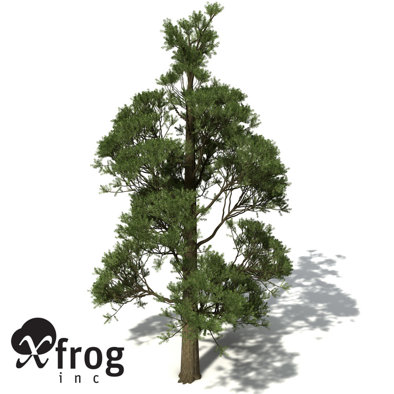 max xfrogplants totara tree flora