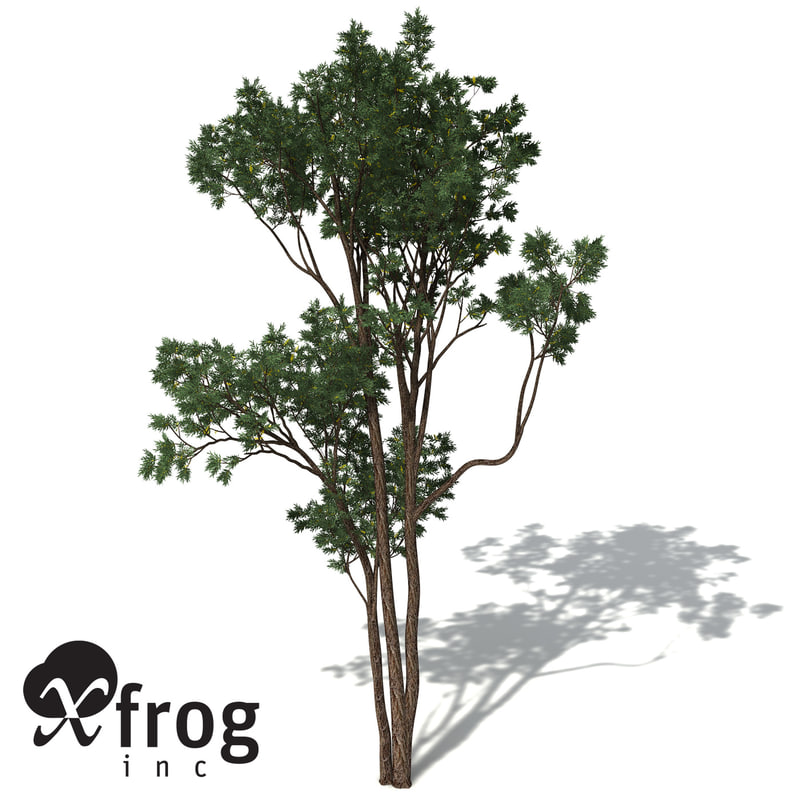 maya xfrogplants brigalow tree