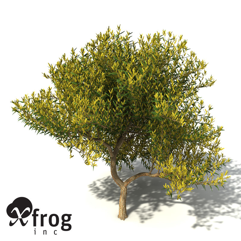 3d model xfrogplants coastal wattle tree shrub