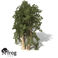 xfrogplants broadleaved paperbark tree max