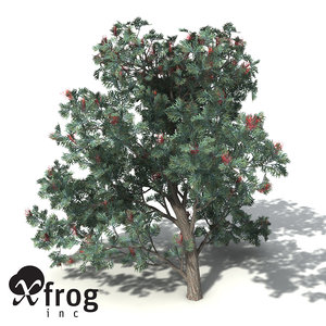 red silky oak tree 3d model