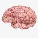 Brain Stem 3D models