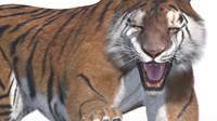 Tiger fur rigged
