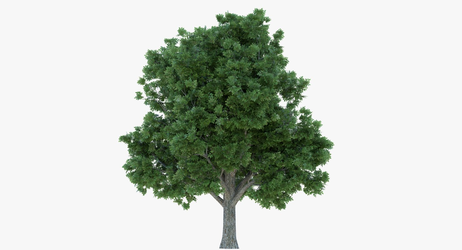 box elder tree 3d model
