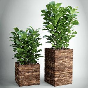 ficus foliage plant 3d obj