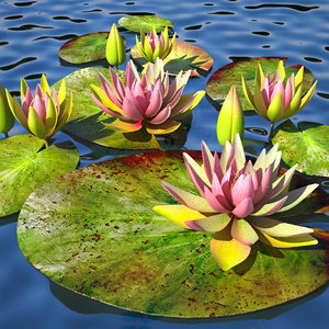 3d lily water pink v model