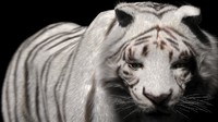White Tiger (Fur) Rigged