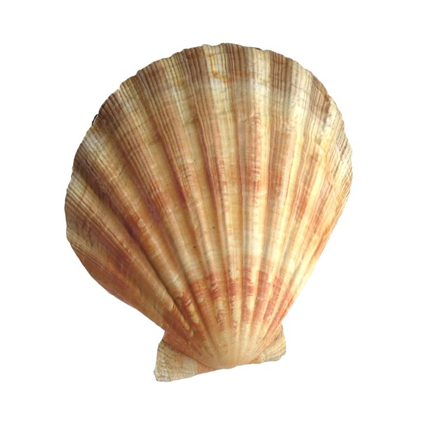 sea shell scallop 3d max