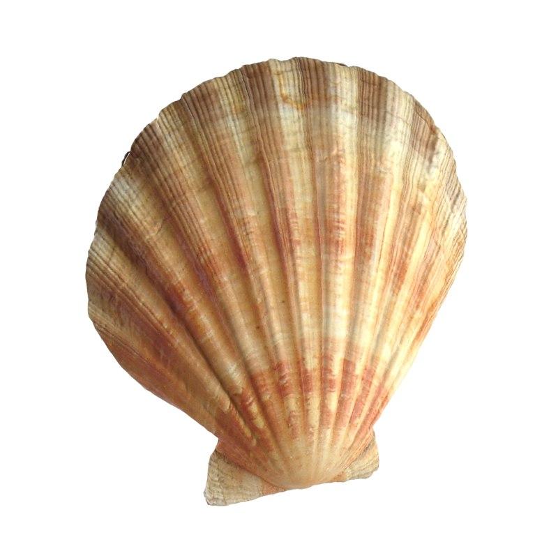 sea shell scallop 3d max