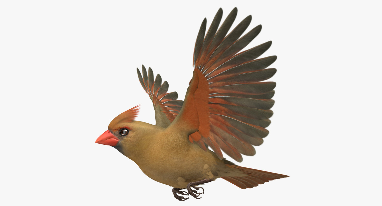 cardinalis northern cardinal female rigged 3d model