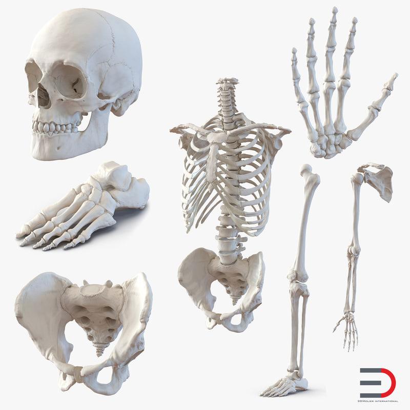 3d male skeleton model