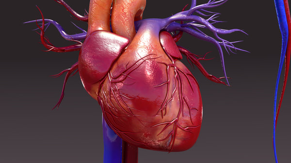 circulatory heart 3d obj