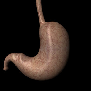 stomach organ internal obj