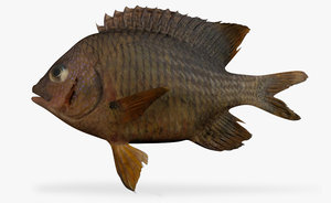 cortez damselfish 3d fbx