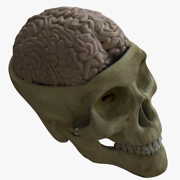 human skull brain ma