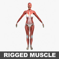 3d model ultimate female rigged muscles