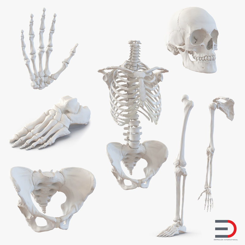 female skeleton human skull 3d model