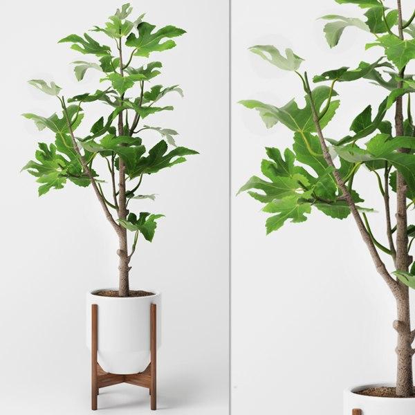 fig plant max