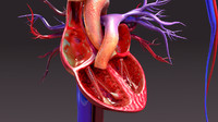circulatory anatomy 3d obj