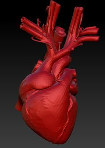 3d model heart anatomical