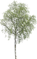 Birch Tree HD 03