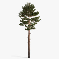 scots pine_03