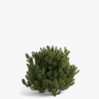 3d scotch fir model