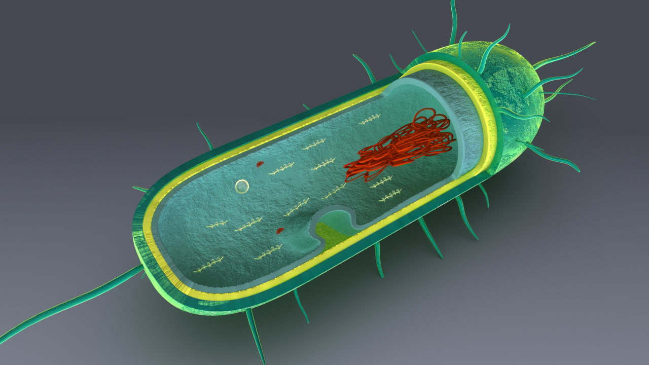 3d anatomy bacteria model