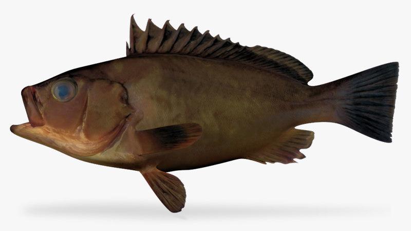 3d model olive grouper