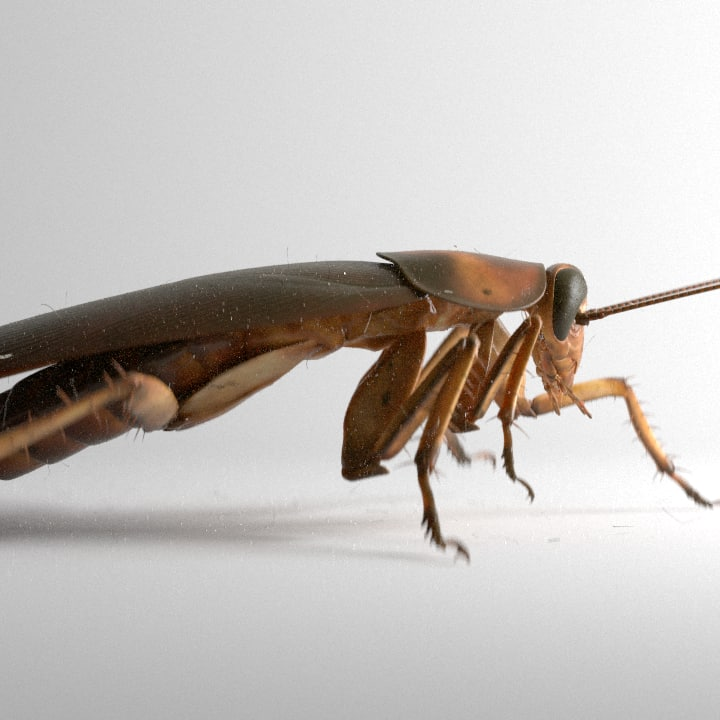 american cockroach rigged animation 3d c4d