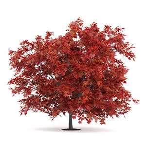 3d model red japanese maple acer