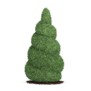 spiral boxwood plant buxus max free