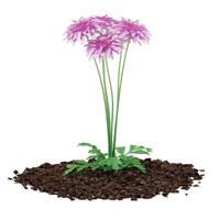 pink chrysanthemum flowers argyranthemum max