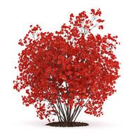 flowering quince plant chaenomeles 3d model