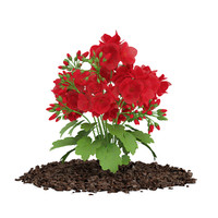 geranium caespitosum 3d model