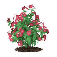Hibiscus Flowers (Hibiscus rosa-sinensis)