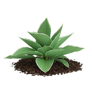 hosta plant kiyosumiensis 3d max