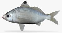 pacific flagfin mojarra ma