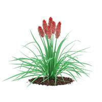 max kniphofia plant tritoma
