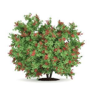 pidgeon berry shrub rivina 3d max